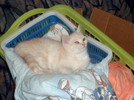 BKH-Schmusekater (13 W.) sucht neue Katzeneltern