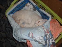 Foto 2 BKH-Schmusekater (13 W.) sucht neue Katzeneltern