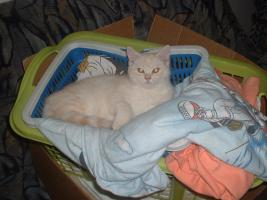 Foto 4 BKH-Schmusekater (13 W.) sucht neue Katzeneltern