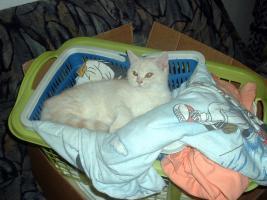 Foto 5 BKH-Schmusekater (13 W.) sucht neue Katzeneltern