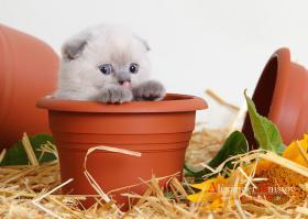 BKH und Scotisch Fold Kitten von Europa Champion! Mit STAMMBAUM