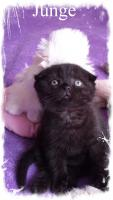 Foto 5 BKH Scottish Fold 2 Kitten.
