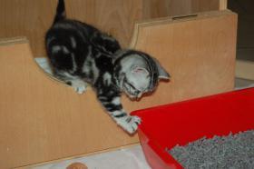 BKH Tabby Kitten sucht