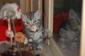 Foto 2 BKH Tabby Kitten sucht