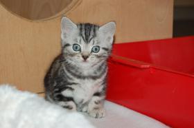 Foto 3 BKH Tabby Kitten sucht