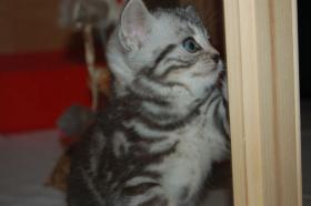 Foto 4 BKH Tabby Kitten sucht