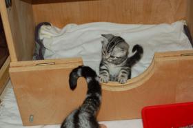 Foto 5 BKH Tabby Kitten sucht