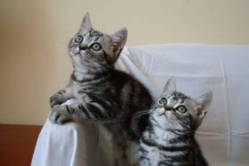 Foto 3 BKH Tabby Whiskas Kätzchen mit Papiere