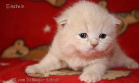 BKH Wir haben wieder wundersch�ne BKH-Kitten zu vergeben