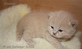 Foto 2 BKH Wir haben wieder wunderschöne BKH-Kitten zu vergeben