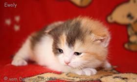 Foto 3 BKH Wir haben wieder wunderschöne BKH-Kitten zu vergeben