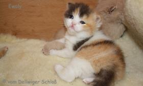 Foto 4 BKH Wir haben wieder wundersch�ne BKH-Kitten zu vergeben