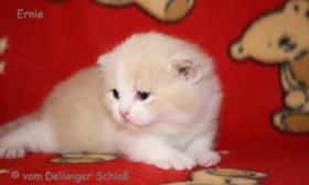 Foto 5 BKH Wir haben wieder wunderschöne BKH-Kitten zu vergeben