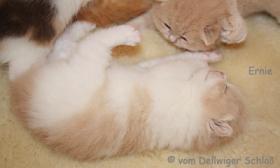 Foto 6 BKH Wir haben wieder wundersch�ne BKH-Kitten zu vergeben