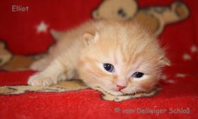 Foto 7 BKH Wir haben wieder wunderschöne BKH-Kitten zu vergeben