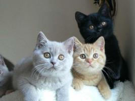 BKH schöne Kätzchen
