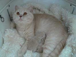 Foto 3 BKH schöne Kätzchen