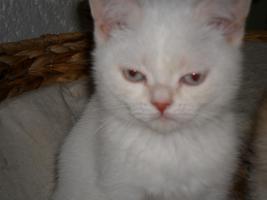 BKH x Perser Mix Kätzchen