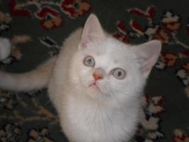 Foto 3 BKH x Perser Mix Kätzchen