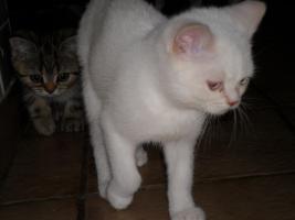 Foto 4 BKH x Perser Mix Kätzchen