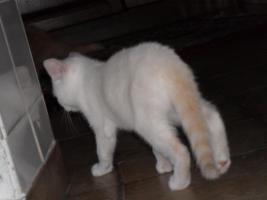 Foto 5 BKH x Perser Mix Kätzchen