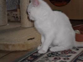 Foto 6 BKH x Perser Mix Kätzchen