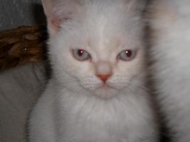 Foto 7 BKH x Perser Mix Kätzchen