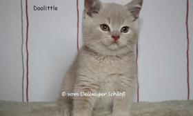 Foto 2 BKH / BLH Babys in creme & creme-white suchen ab Mitte Mai neue Dosenöffner