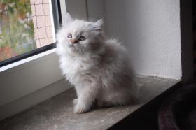 BKH & BLH Kitten