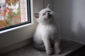 Foto 2 BKH & BLH Kitten