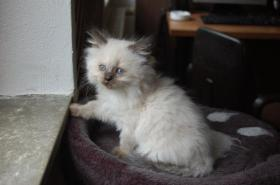 Foto 3 BKH & BLH Kitten