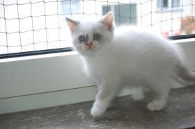 Foto 4 BKH & BLH Kitten