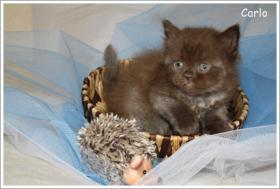 BKH & BLH Kitten in chocolate suchen neuen Wirkungskreis ab November