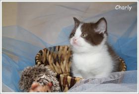 Foto 4 BKH & BLH Kitten in chocolate suchen neuen Wirkungskreis ab November