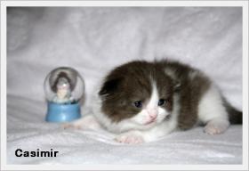 BKH & BLH Kitten mit hohem Schmusebedarf sind noch zu haben !!!