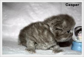 Foto 2 BKH & BLH Kitten mit hohem Schmusebedarf sind noch zu haben !!!