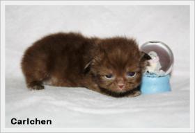 Foto 3 BKH & BLH Kitten mit hohem Schmusebedarf sind noch zu haben !!!