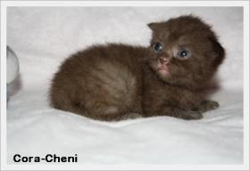 Foto 4 BKH & BLH Kitten mit hohem Schmusebedarf sind noch zu haben !!!