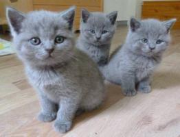 BKH - Britisch Kurzhaar Kitten blau mit Stammbaum