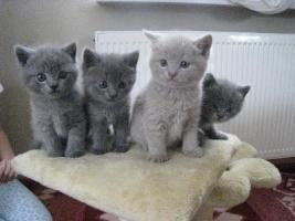 Foto 2 BKH - Britisch Kurzhaar Kitten blau mit Stammbaum
