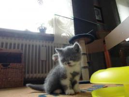 Foto 3 BKH/ Highlander Kitten