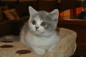 BKH - Kätzchen sucht noch ein neues Zuhause