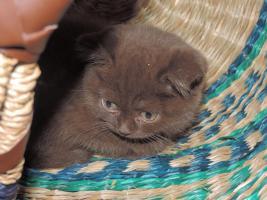 Foto 2 BKH- Kitten in Chocolate u. Lilac  mit  Stammbaum zu verkaufen !