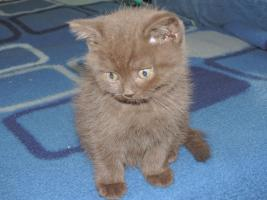 Foto 3 BKH- Kitten in Chocolate u. Lilac  mit  Stammbaum zu verkaufen !