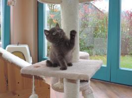 Foto 4 BKH- Kitten in Chocolate u. Lilac  mit  Stammbaum zu verkaufen !