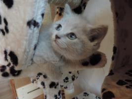Foto 6 BKH- Kitten in Chocolate u. Lilac  mit  Stammbaum zu verkaufen !