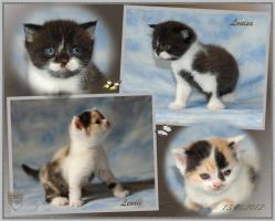 BKH - Kitten mit Stammbaum