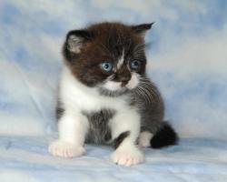 Foto 2 BKH - Kitten mit Stammbaum