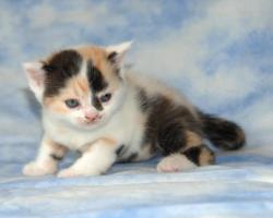 Foto 3 BKH - Kitten mit Stammbaum