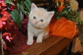 BKH - Kitten geboren am 02.08.2015